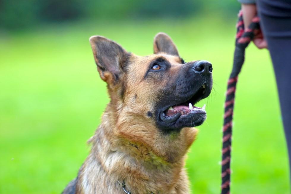 German Shepherd awaiting owner's command