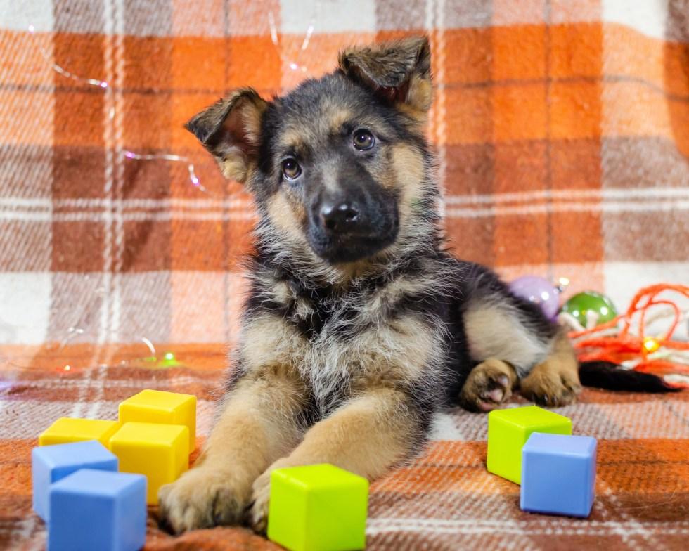 German Shepherd with dog toys