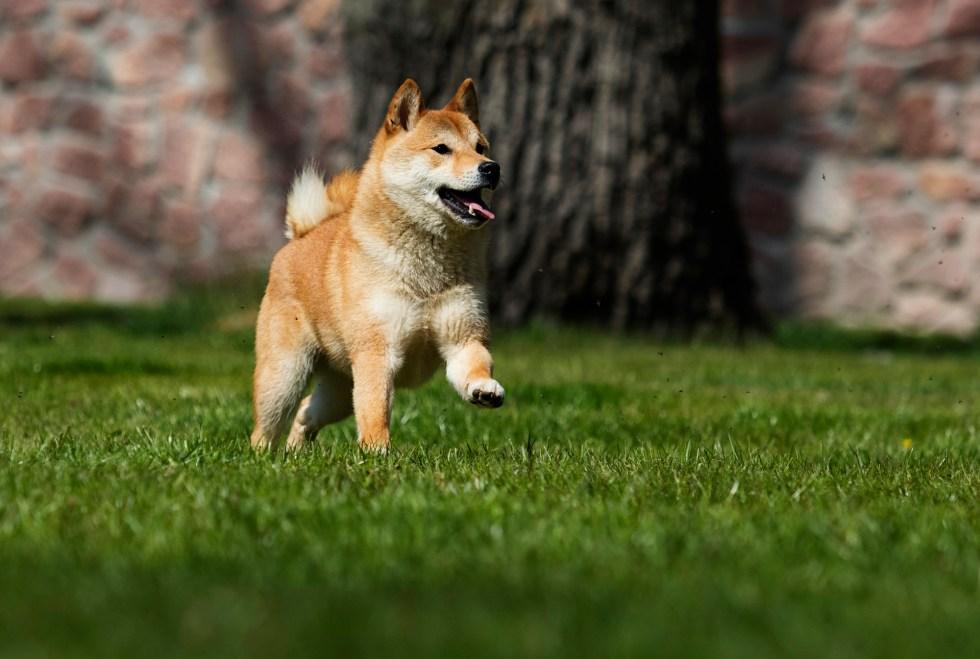 Shiba Inu running outside