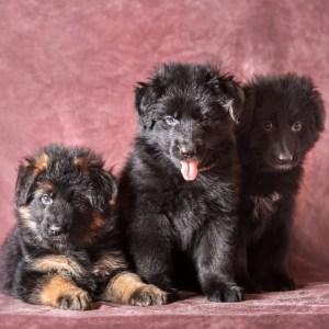 Do German Shepherd Puppies Change Color?