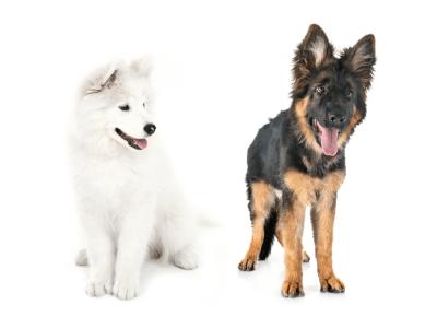 Samoyed German Shepherd Mix