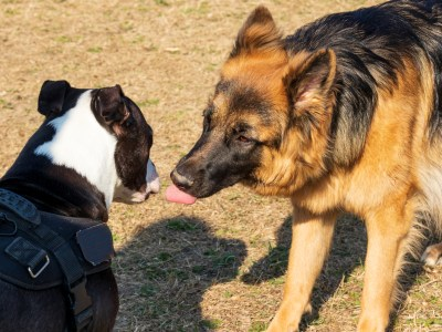 How To Socialize Your German Shepherd