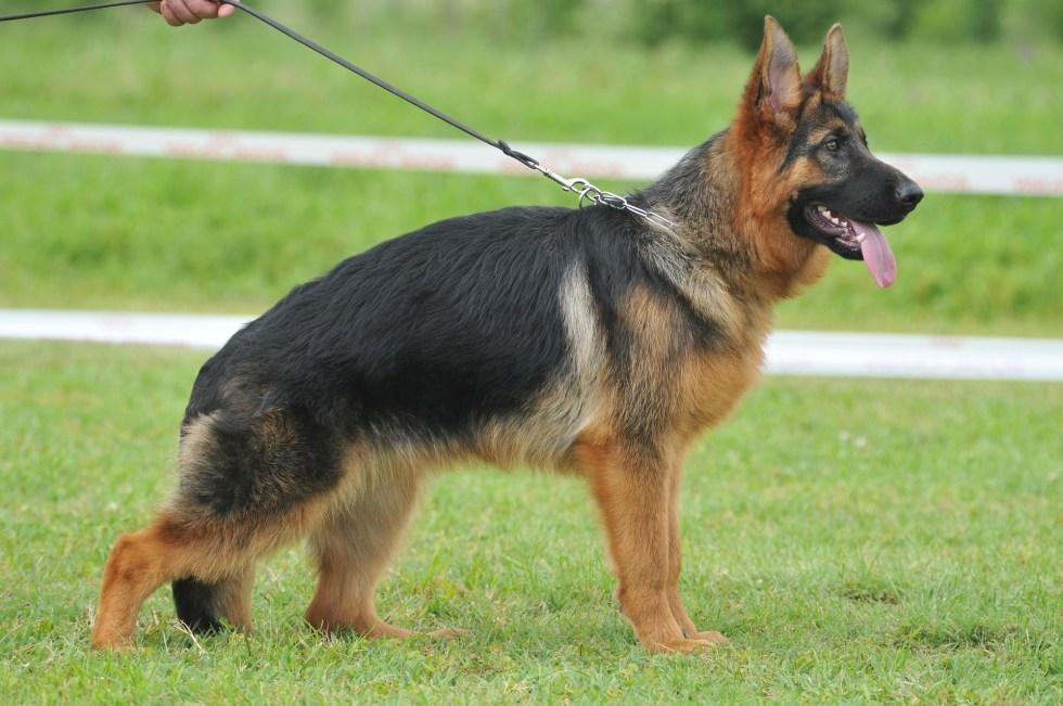 American Show Line German Shepherds