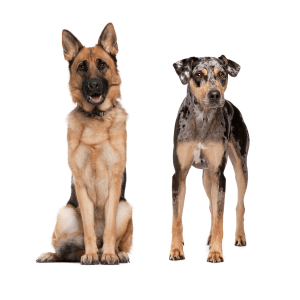 German Shepherd Catahoula Mix