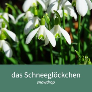 "Image showing a snowdrop and the German word for it ""das Schneeglöckchen"""