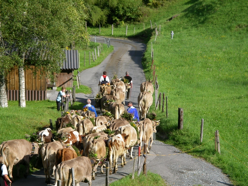 Cow descent in the Swiss Alps