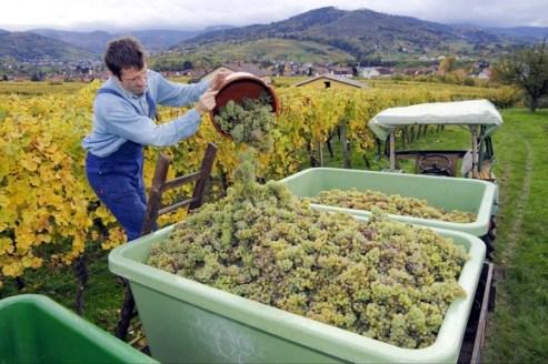 Wine harvest in Bühl, Black Forest