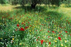 Wildflowers beneath the olives
