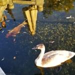 Schwan im Teich