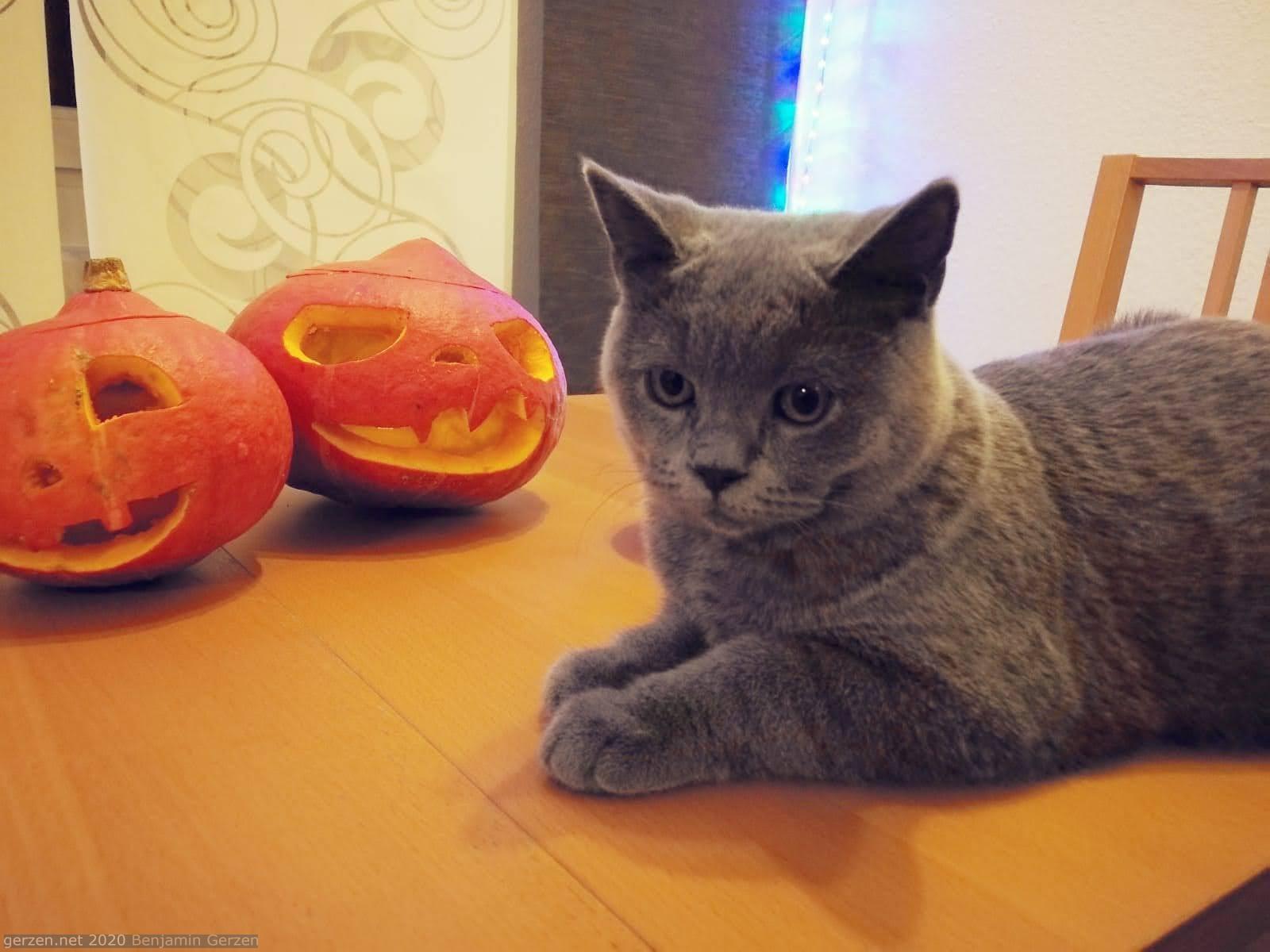 Кот на столе рядом с тыквами