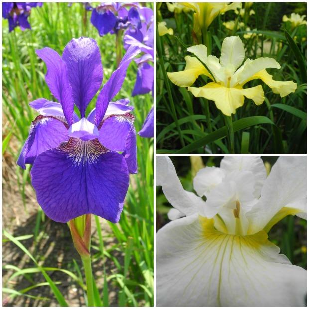 Iris im Juni | Gesche Santen Blog