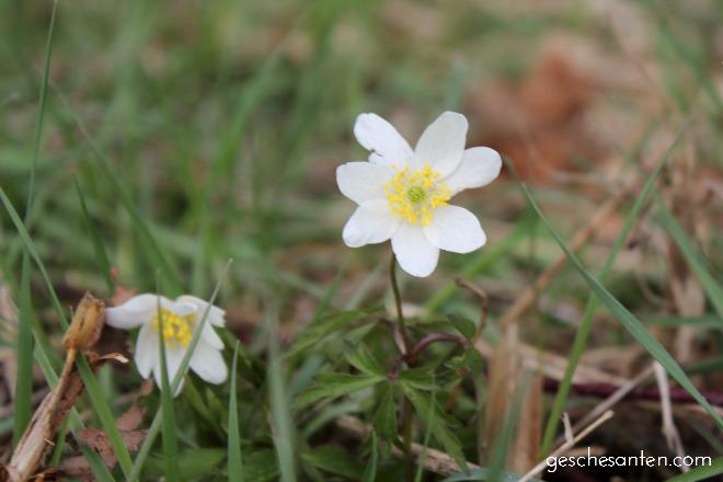 Buschwindröschen, Anemone nemorosa, Aquarell, Frühling Dekoration, botanische Drucke