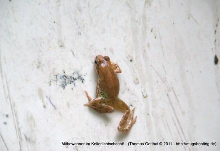 Mietfreier Mitbewohner im Kellerlichtschacht! Der Frosch!