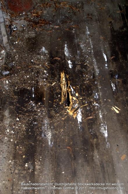Bauschadensbericht: Durchgefaulte Stockwerksdecke mit weißem Hausschwamm
