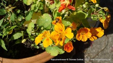 Sommerblume: Kapuzinerkresse