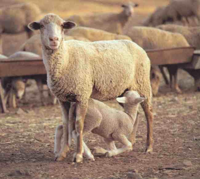 Ganadería ovina en Castilla y León