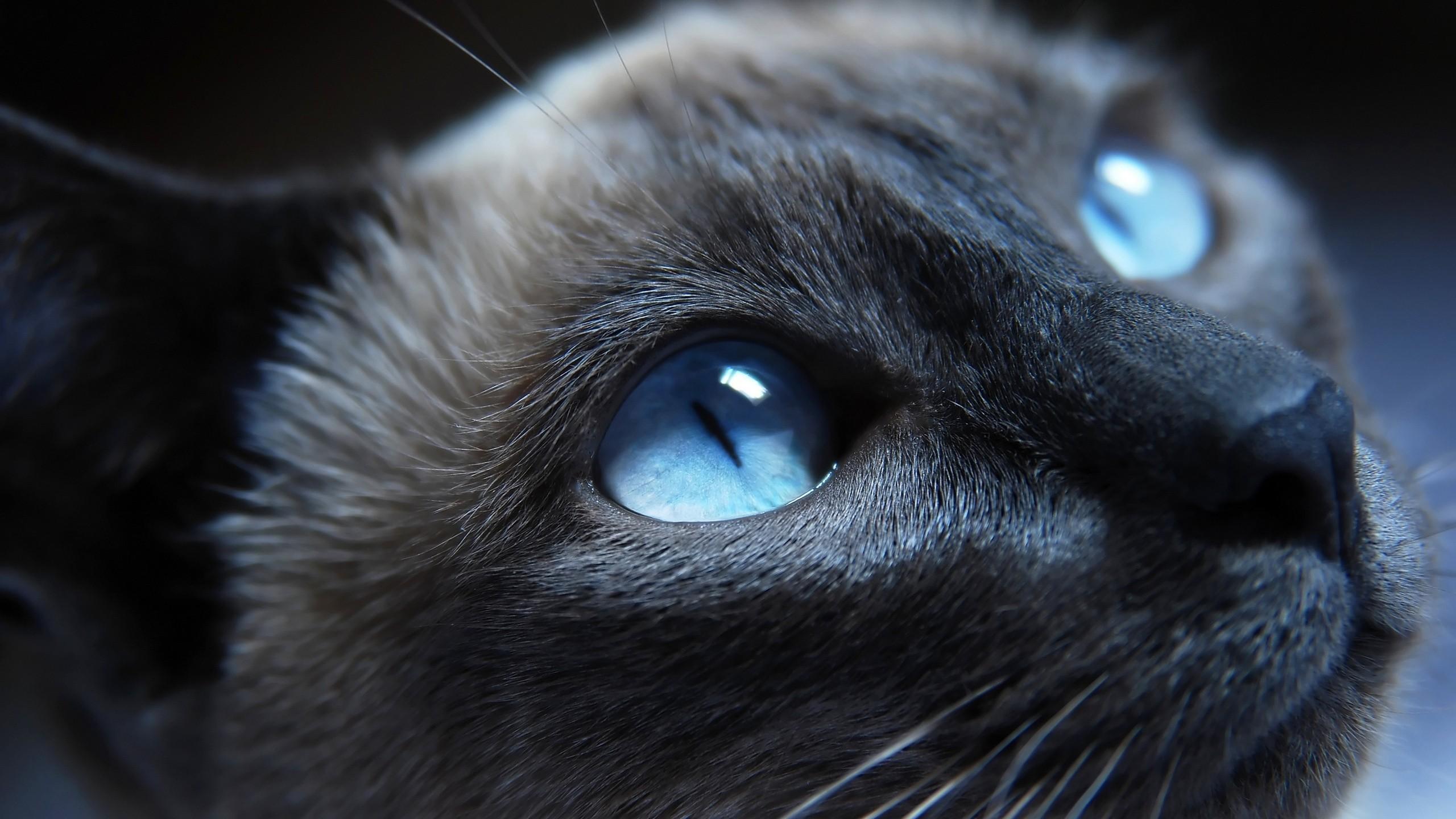 Hintergrundbilder Schwarz Tiere Einfarbig Blaue Augen