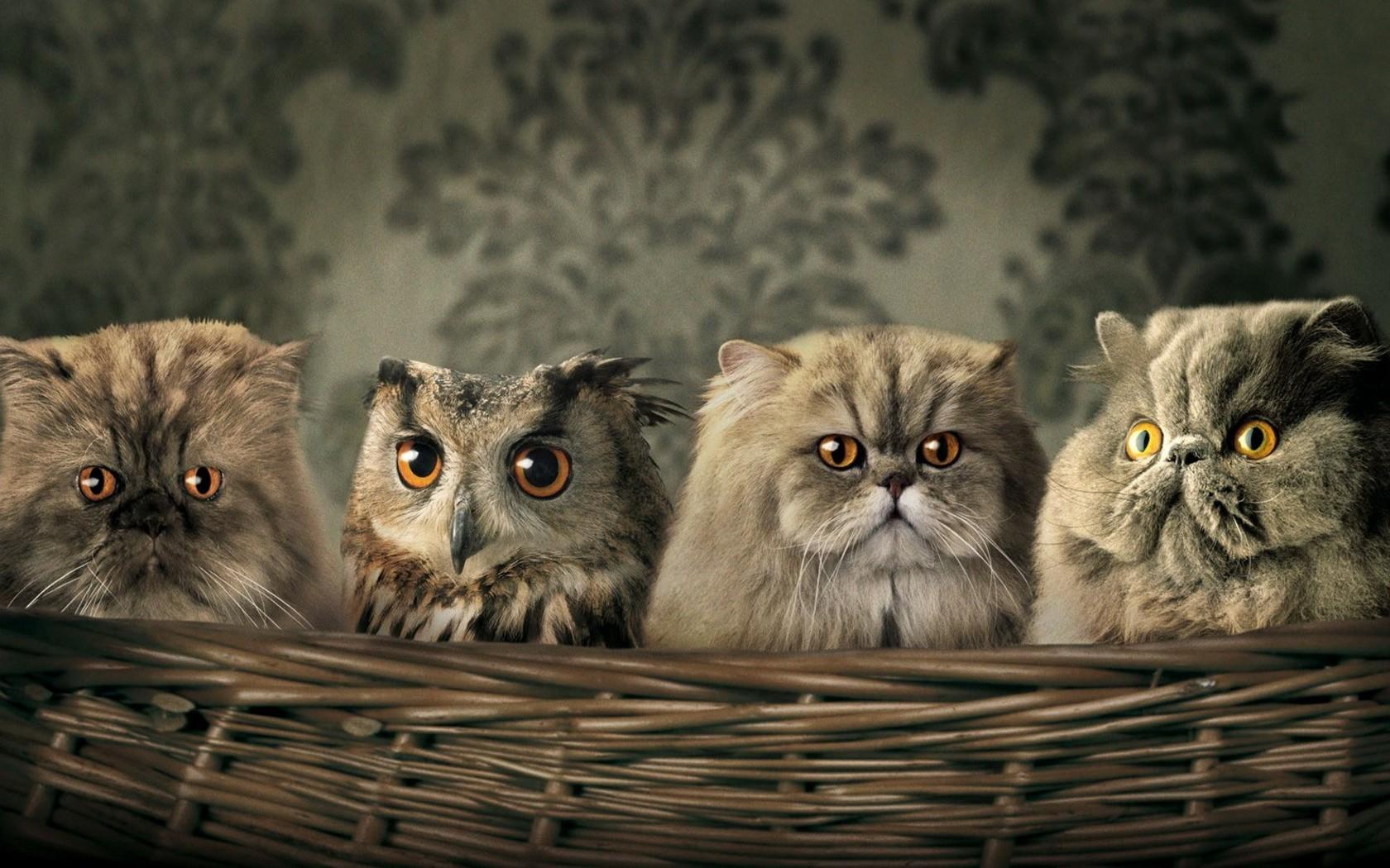 Hintergrundbilder Tiere Humor Korbe Eule Whiskers Persisch