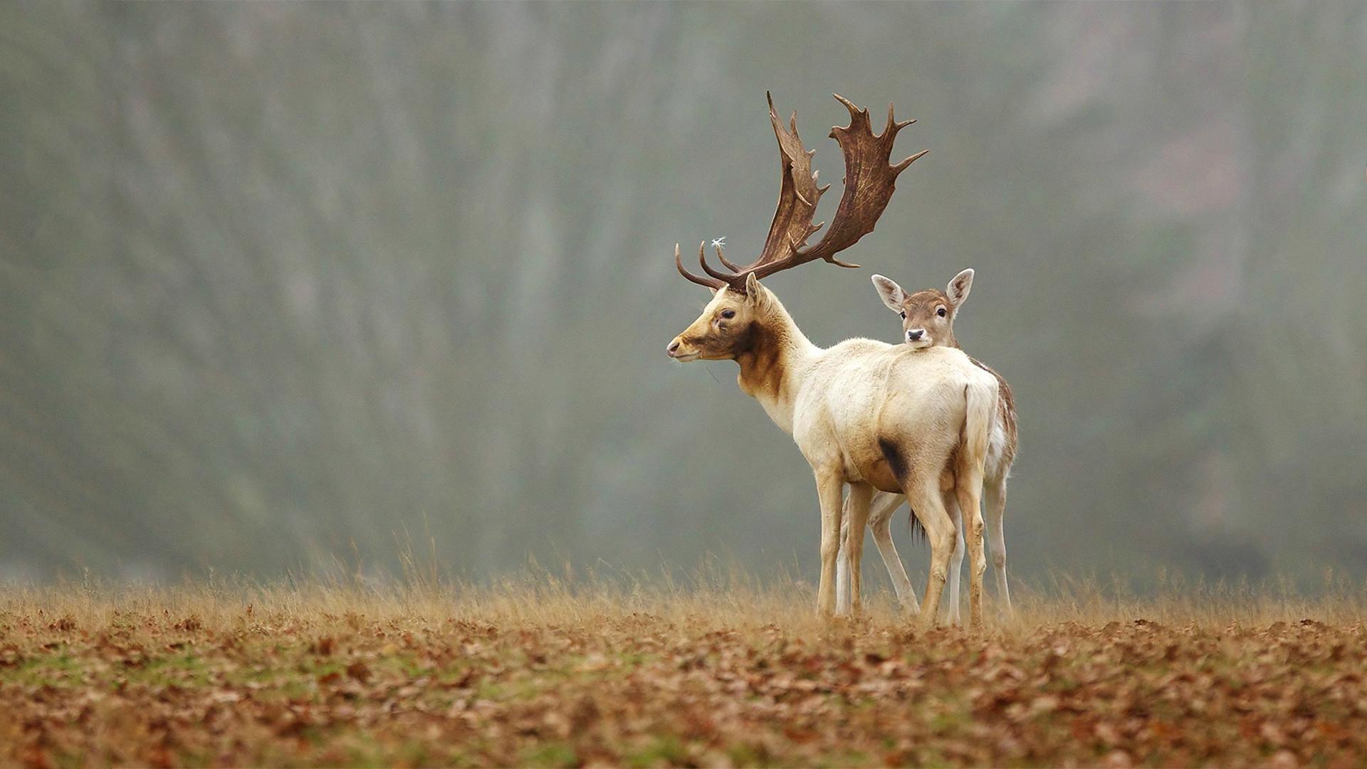 Wallpaper Nature Wildlife Elk Baby Animals Fawns Grassland Fauna Mammal Horn Prairie
