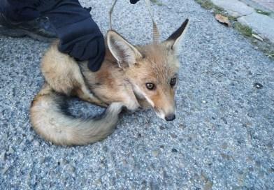 Rescatan un cachorro de zorro en Perales del Río