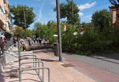 Se desploma un árbol en la céntrica calle Madrid