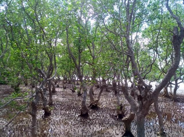 (2) Mangroves