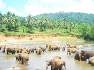 srilanka elephant2