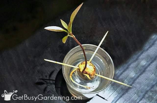 Avocado seedling growing in water