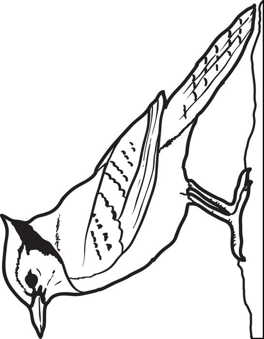 free coloring pictures of blue jays coloring pages