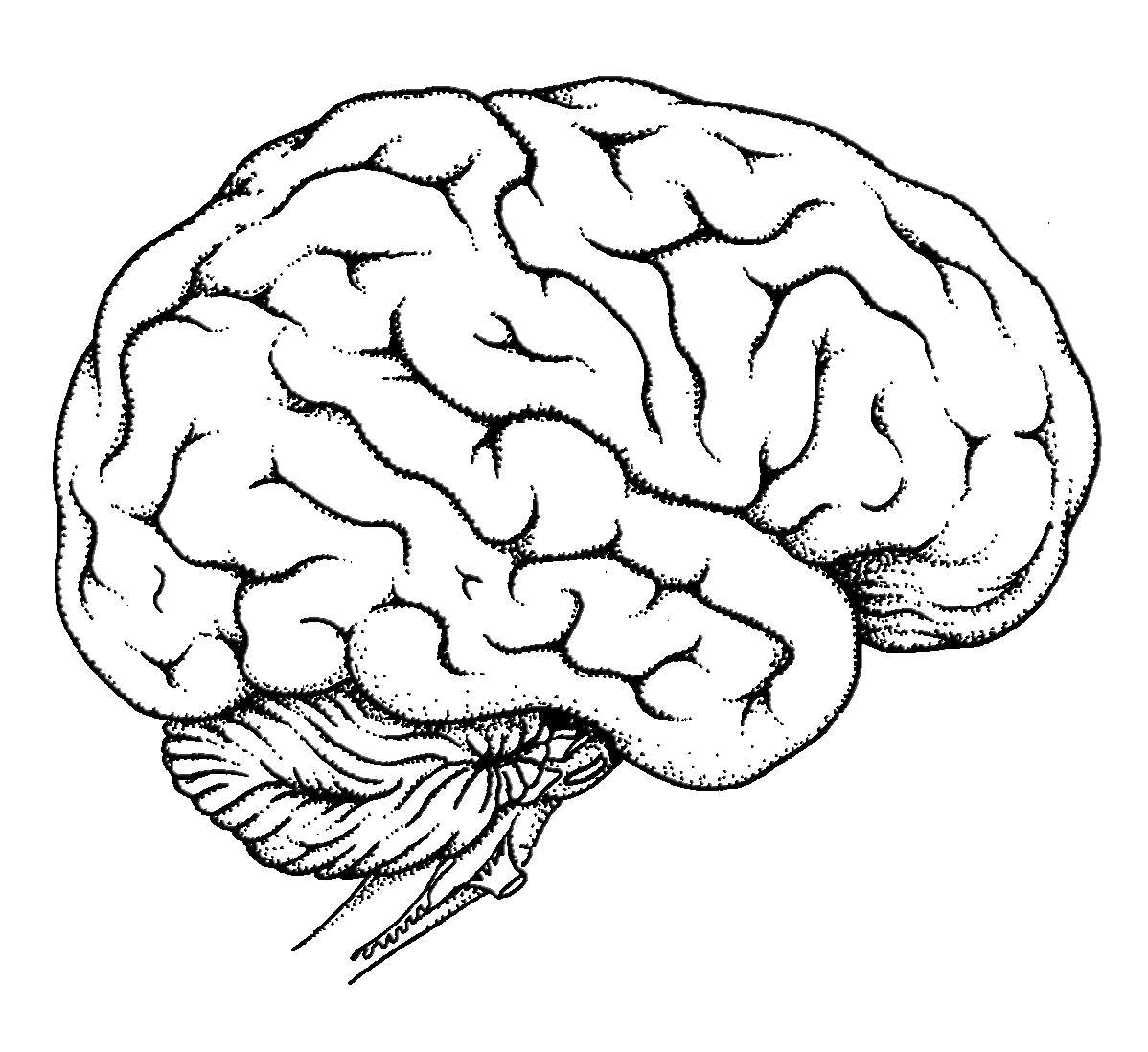 Brain Anatomy Coloring Pages At Getcolorings