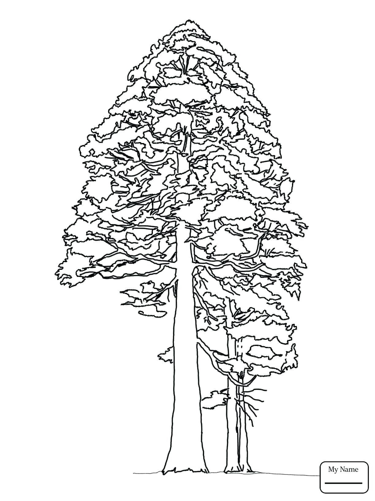 Pine Cone Coloring Page At Getcolorings