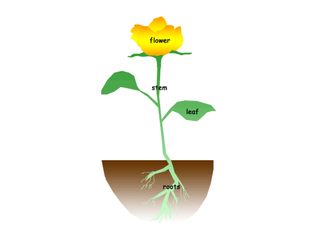 Parts Of A Plant Clipart At Getdrawings
