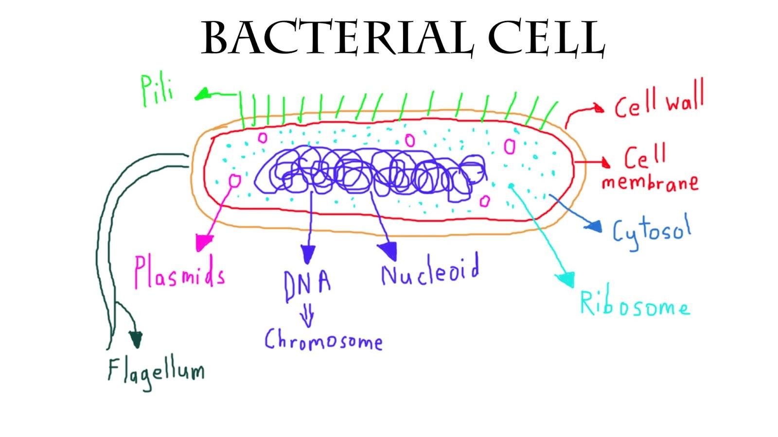 Bacteria Drawing At Getdrawings