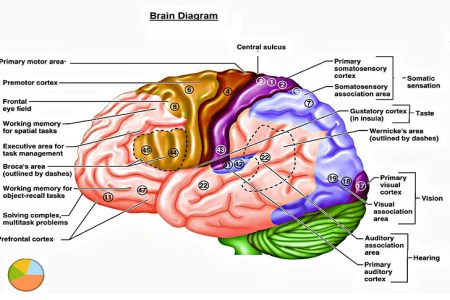 Interior parts of the brain full hd maps locations another world your brain nervous system hypothalamus controls temperature brain hypothalamus the hypothalamus brain function and anatomy of parts diagram conditions ccuart Gallery