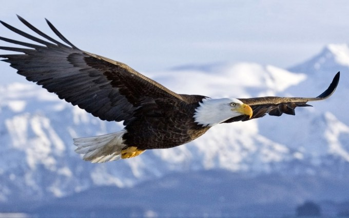 flying eagle photo gallery
