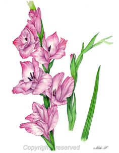 Gladiolus Flower Drawing at GetDrawings com   Free for personal use     236x304 Symbolizes strength of character  faithfulness and honor  The