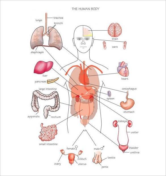 Blank Human Organ Diagram Wire Data Schema