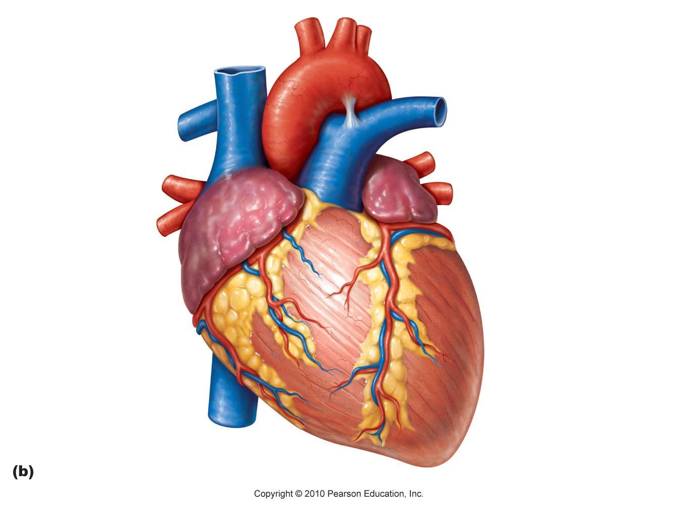 Real Human Heart Drawing At Getdrawings