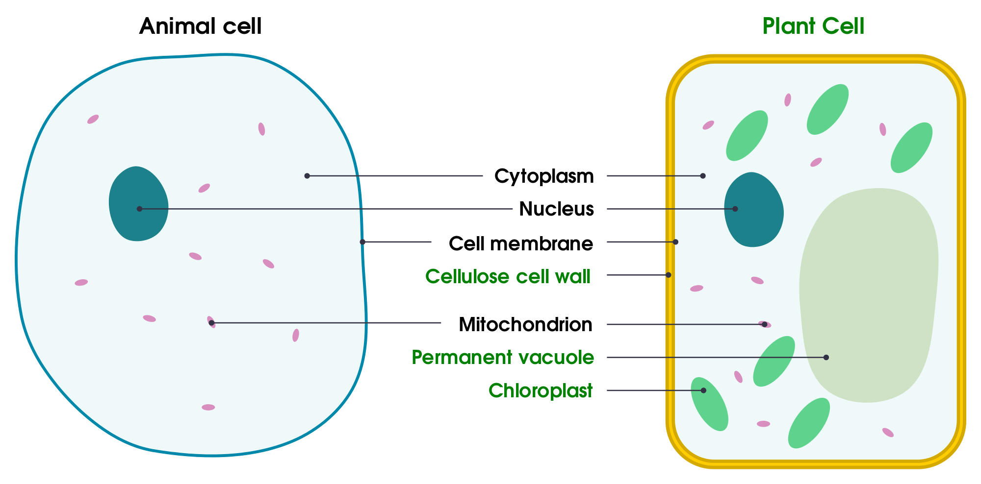 Simple Plant Cell Drawing At Getdrawings