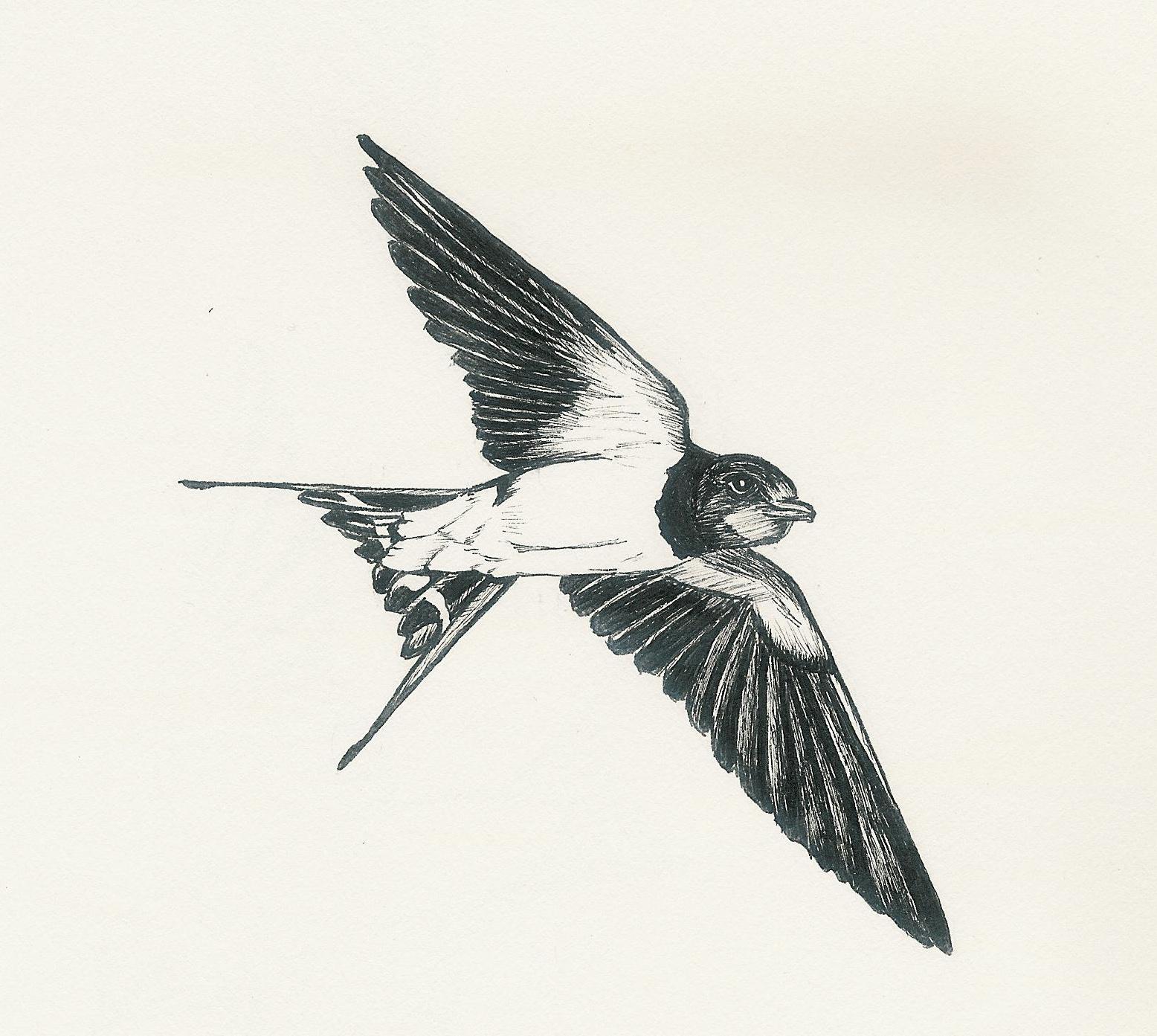 Swallow Bird Drawing At Getdrawings