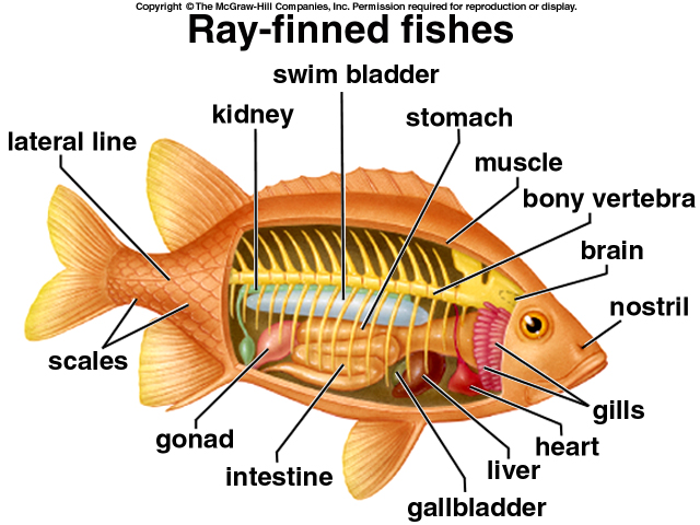 Excelente Internal Anatomy Of A Fish Ideas - Anatomía de Las ...