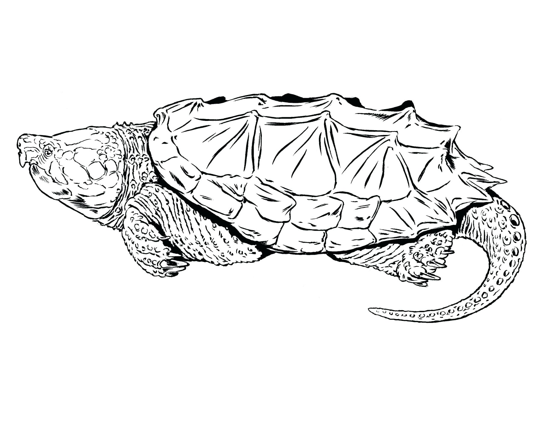 Alligator Snapping Turtle Drawing At Getdrawings