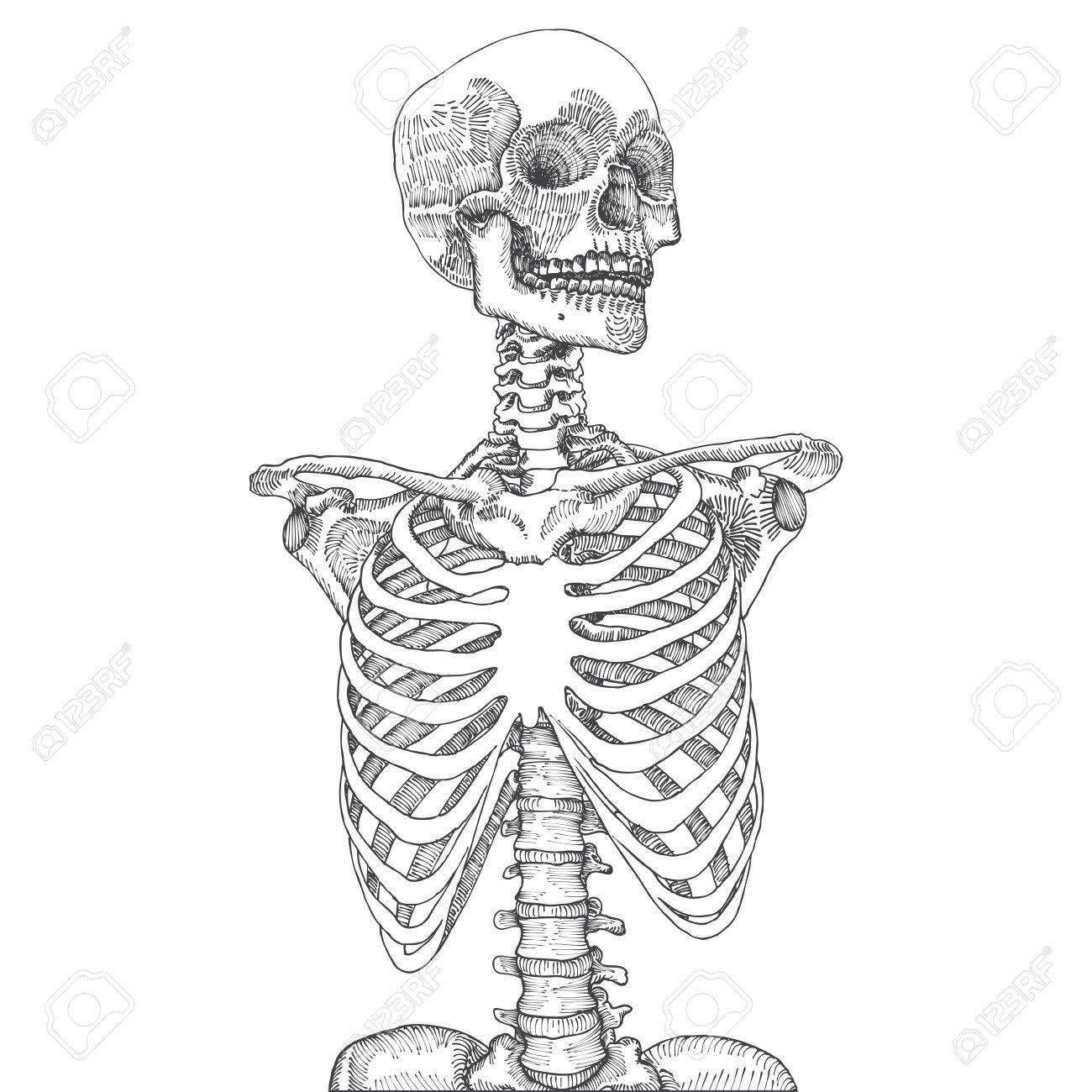 Anatomical Skeleton Drawing At Getdrawings