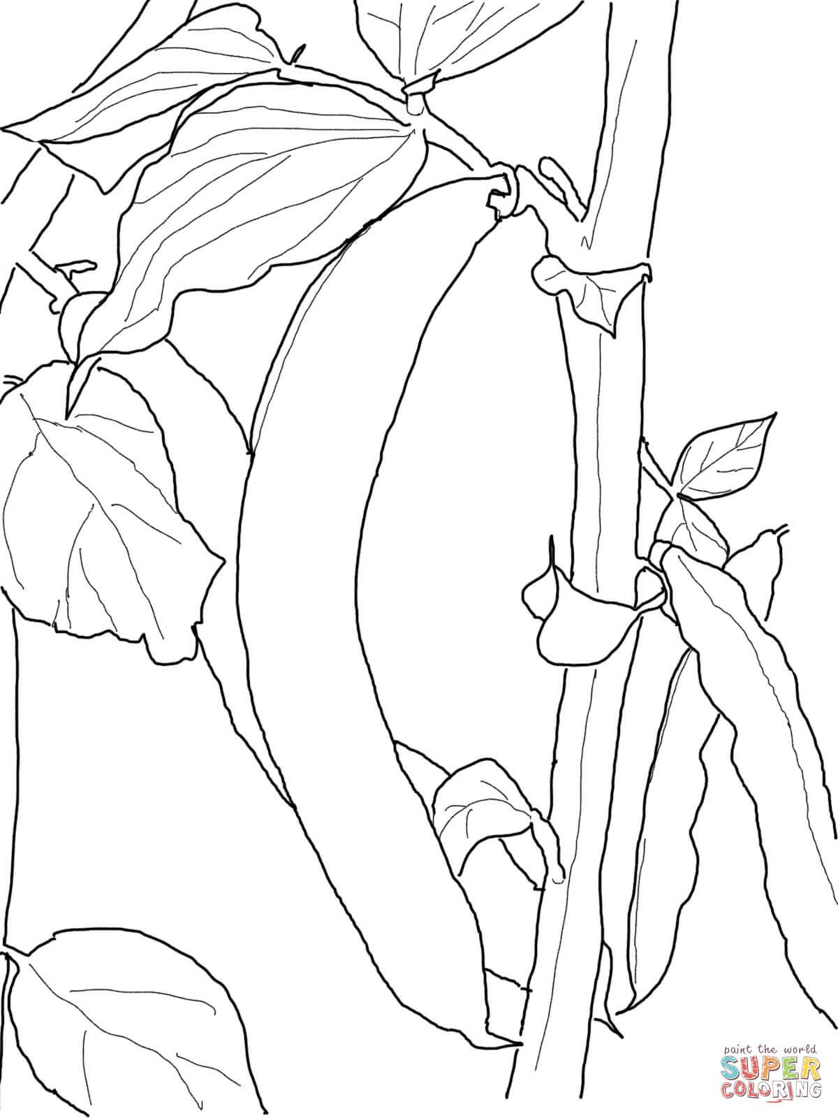 Bean Plant Drawing At Getdrawings