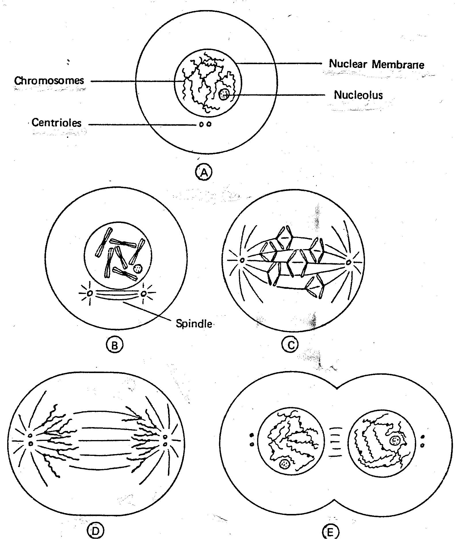 Cell Cycle Drawing Worksheet At Paintingvalley