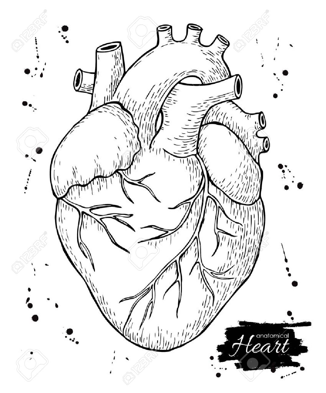 Heart Drawing Anatomy At Getdrawings