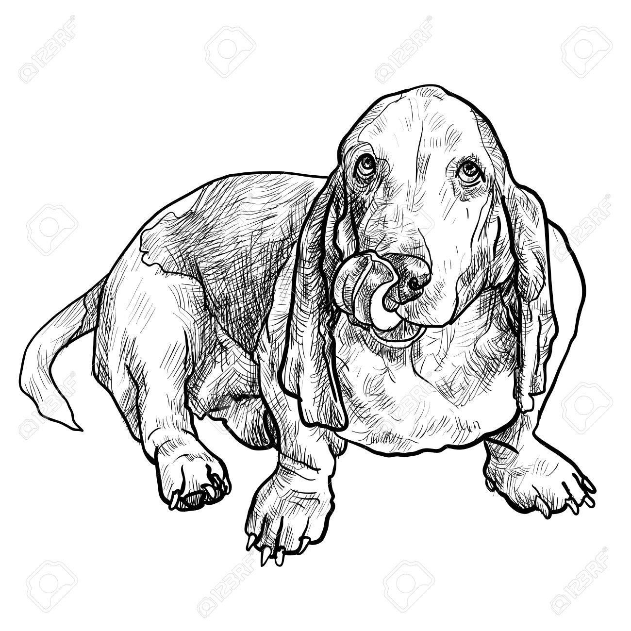Basset Hound Drawing At Getdrawings