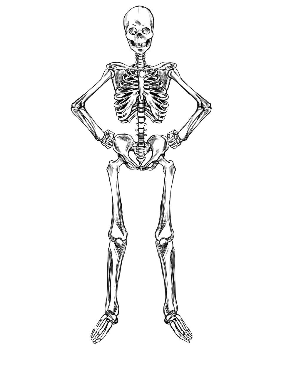 Human Bones Drawing At Getdrawings