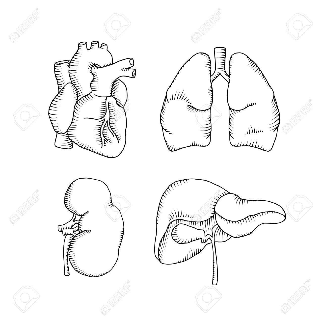 Human Liver Drawing At Getdrawings