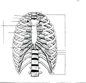 Human Rib Cage Drawing at GetDrawings | Free for
